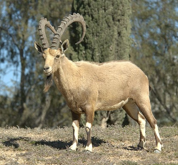 wild goat in Isreal